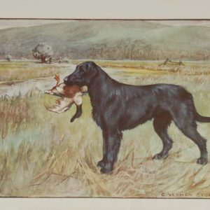 A 1909 Antique Print of a Retriever, print is in excellent condition with no foxing.
