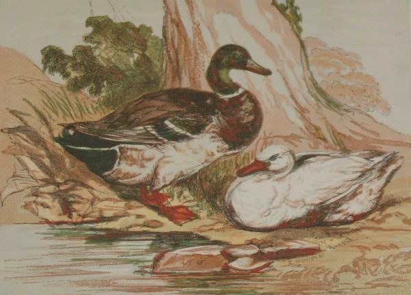 1856 Hand Coloured Antique Bird Print an engraving The Duck by Harrison Weir.