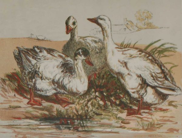 Antique Bird Print 1856 Geese by Harrison Weir