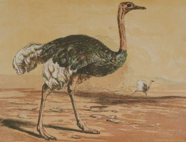 1856 Antique Bird Print the Ostrich by the Leighton Brothers