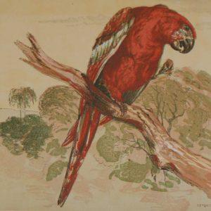 Antique Bird Print The Macaw