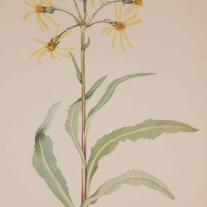 Vintage botanical print from 1925 by Mary Vaux Walcott titled Mourning Groundsel, stamped with initials and dated bottom left.