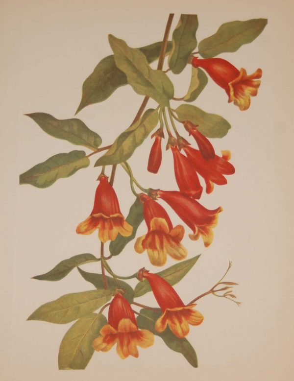 Vintage botanical print from 1925 by Mary Vaux Walcott titled Crossvine, stamped with initials and dated bottom left.