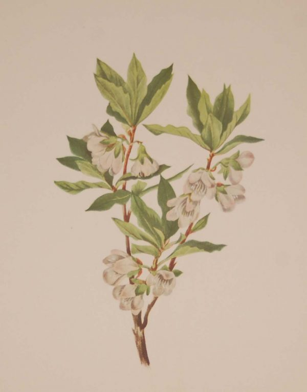 Vintage botanical print from 1925 by Mary Vaux Walcott titled Rocky Mountain Rhododendrone, stamped with initials and dated bottom left.