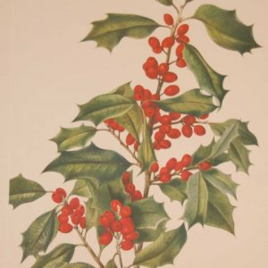 Vintage botanical print from 1925 by Mary Vaux Walcott titled American Holly, stamped with initials and dated bottom left