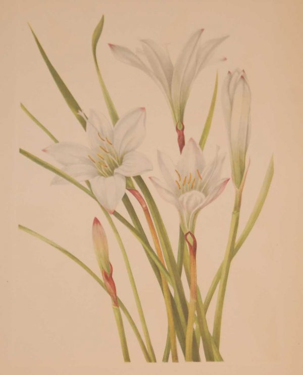 Vintage botanical print from 1925 by Mary Vaux Walcott titled Atamsco Lily, stamped with initials and dated bottom left
