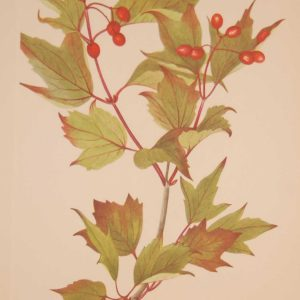 Vintage botanical print from 1925 by Mary Vaux Walcott titled Cranberry Bush, stamped with initials and dated bottom left