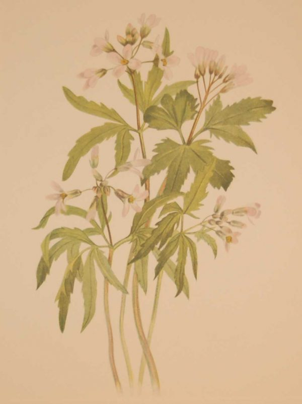 Vintage botanical print from 1925 by Mary Vaux Walcott titled Cut Toothworth, stamped with initials and dated bottom left