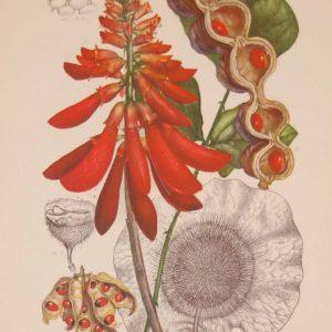 Original 1925 vintage botanical print Leguminoseae Papilionatae Plate 29 by Rudolph Marloth