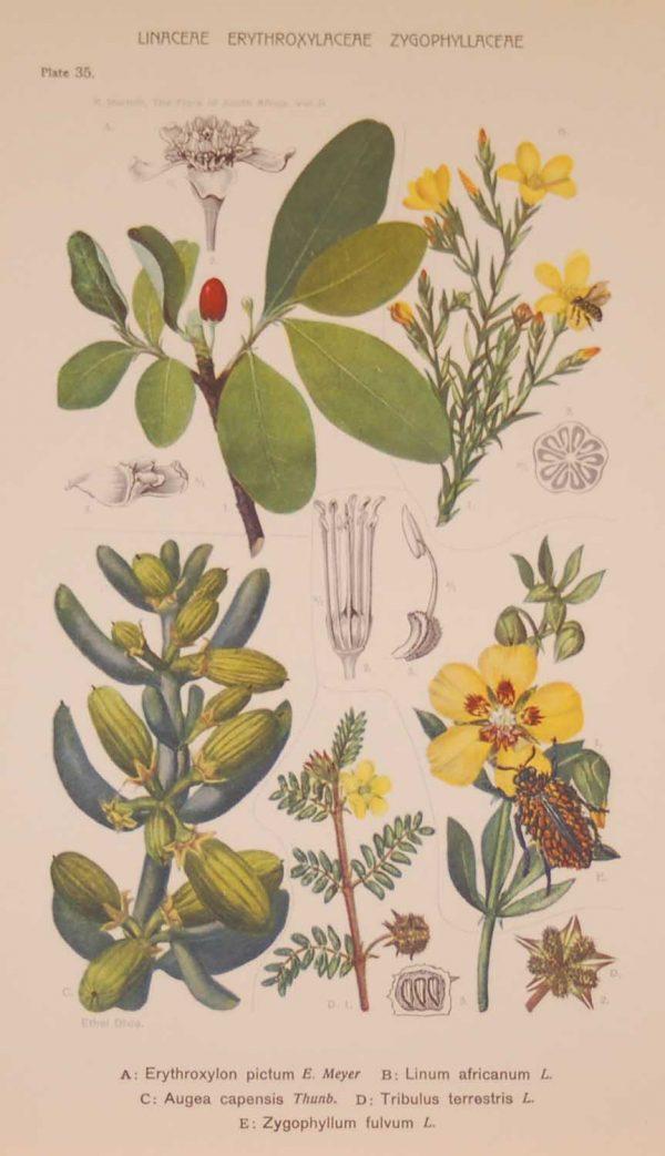 Original 1925 vintage botanical print titled Linaceae Erythroxylaceae Zygophyllaceae Plate 35 by Rudolph Marloth