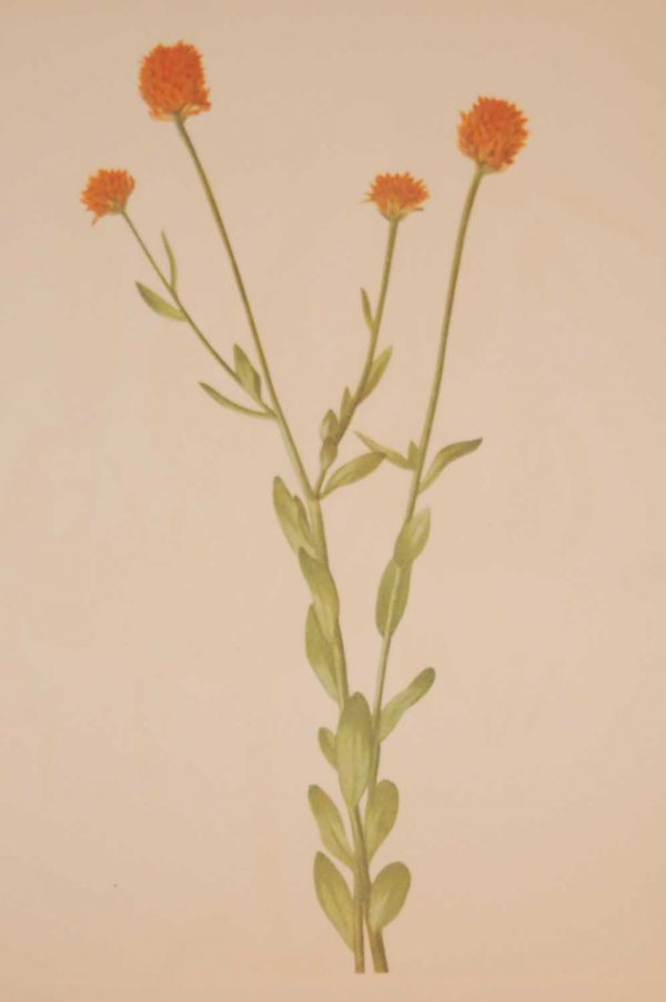 Vintage botanical print from 1925 by Mary Vaux Walcott titled Orange Polygala, stamped with initials and dated bottom left