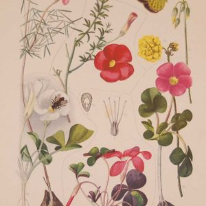 Original 1925 vintage botanical print titled Oxalidaceae Plate 33 by Rudolph Marloth