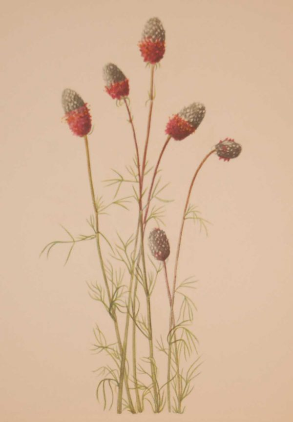 Vintage botanical print from 1925 by Mary Vaux Walcott titled Purple Prairieclover, stamped with initials and dated bottom left