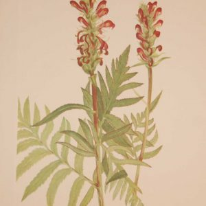 Vintage botanical print from 1925 by Mary Vaux Walcott titled Red Helmet , stamped with initials and dated bottom left