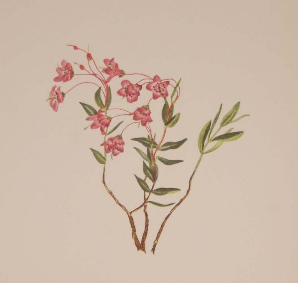 Vintage botanical print from 1925 by Mary Vaux Walcott titled Rocky Mountain Kalmia , stamped with initials and dated bottom left.