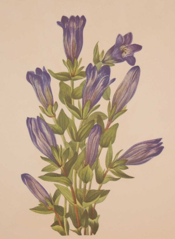 Vintage botanical print from 1925 by Mary Vaux Walcott titled Ruff Gentian, stamped with initials and dated bottom left