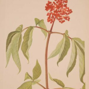 Vintage botanical print from 1925 by Mary Vaux Walcott titled Scarlet Elder, stamped with initials and dated bottom left