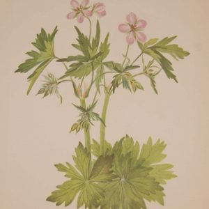 Vintage botanical print from 1925 by Mary Vaux Walcott titled Western Cranesbill , stamped with initials and dated bottom left.