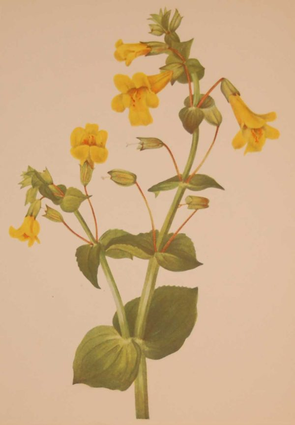Vintage botanical print from 1925 by Mary Vaux Walcott titled Western Monkeyflower, stamped with initials and dated bottom left