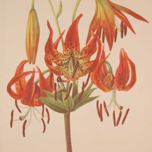 Vintage botanical print from 1925 by Mary Vaux Walcott titled Turkscap Lily, stamped with initials and dated bottom left