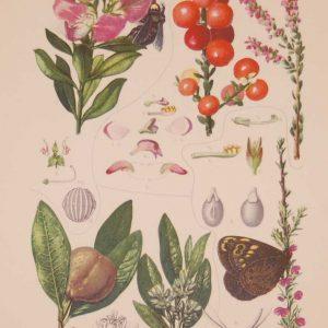 Original 1925 vintage botanical print titled Polygalaceae Dichapetalaceae Plate 41 by Rudolph Marloth